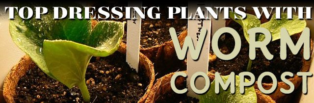 Top-Dressing-Plants-With-Worm-Compost